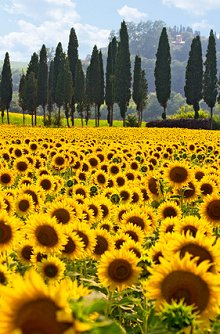 Blog. Library Image: Sunflower Field